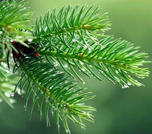 Aroma Hutan Cemara Hutan Pinus